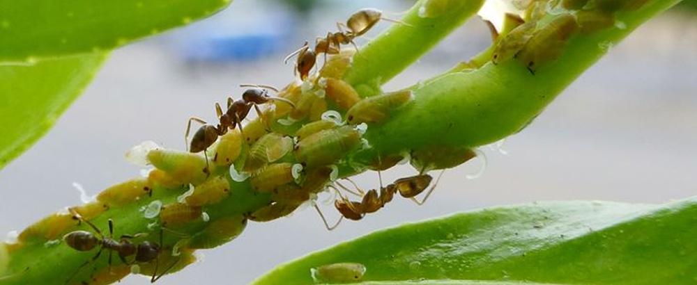 formiche piante